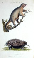 Two toed ant eater, porcupine ant eater